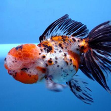 Koiondemand beautiful israeli koi carp calico oranda 2 for Calico koi fish