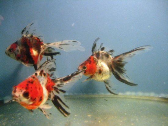 Koiondemand beautiful israeli koi carp calico fantail for Calico koi fish