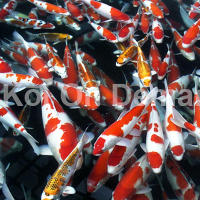 Koiondemand beautiful israeli koi carp koi carp for Where can i buy koi fish