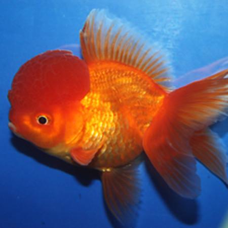Red Oranda